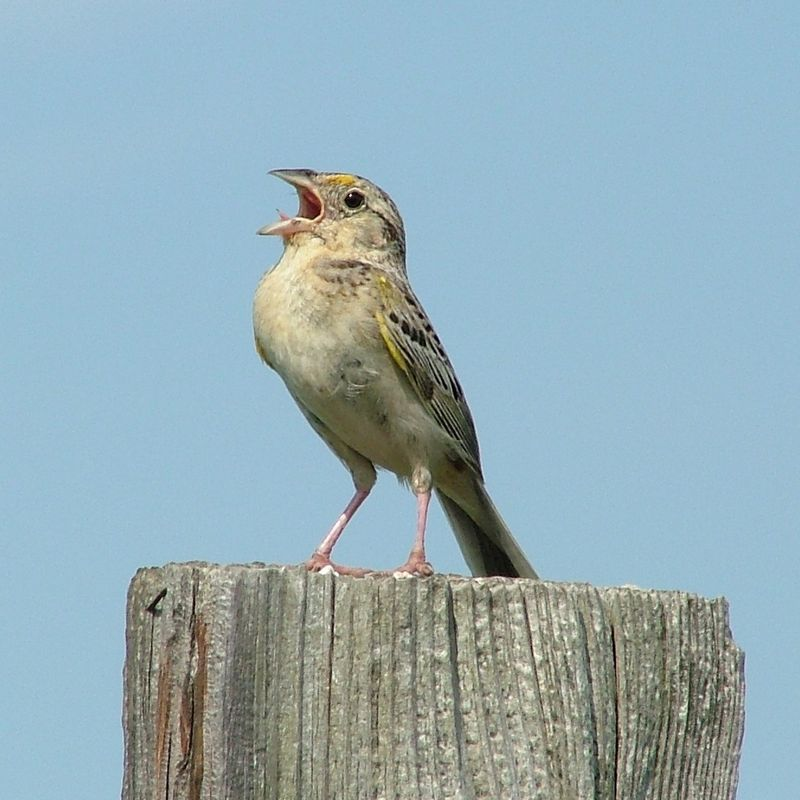 7-7-07 (GrasshopperSparrow1)